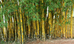 Gold Painted Bamboo