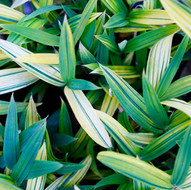 Dwarf Green & Gold Bamboo Ground Cover