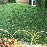 Pygmy Green Bamboo Ground Cover
