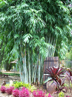 Ghost Bamboo