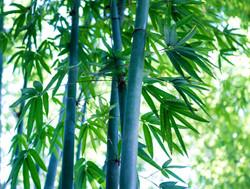 Chungii Bamboo