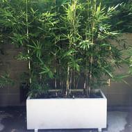 Goldstripe Bamboo