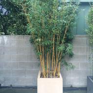 Alphonse Karr Bamboo