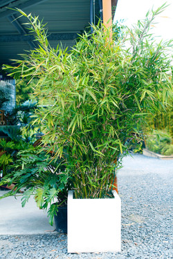 Compacta Bamboo