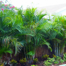 Palm Golden Cane.png