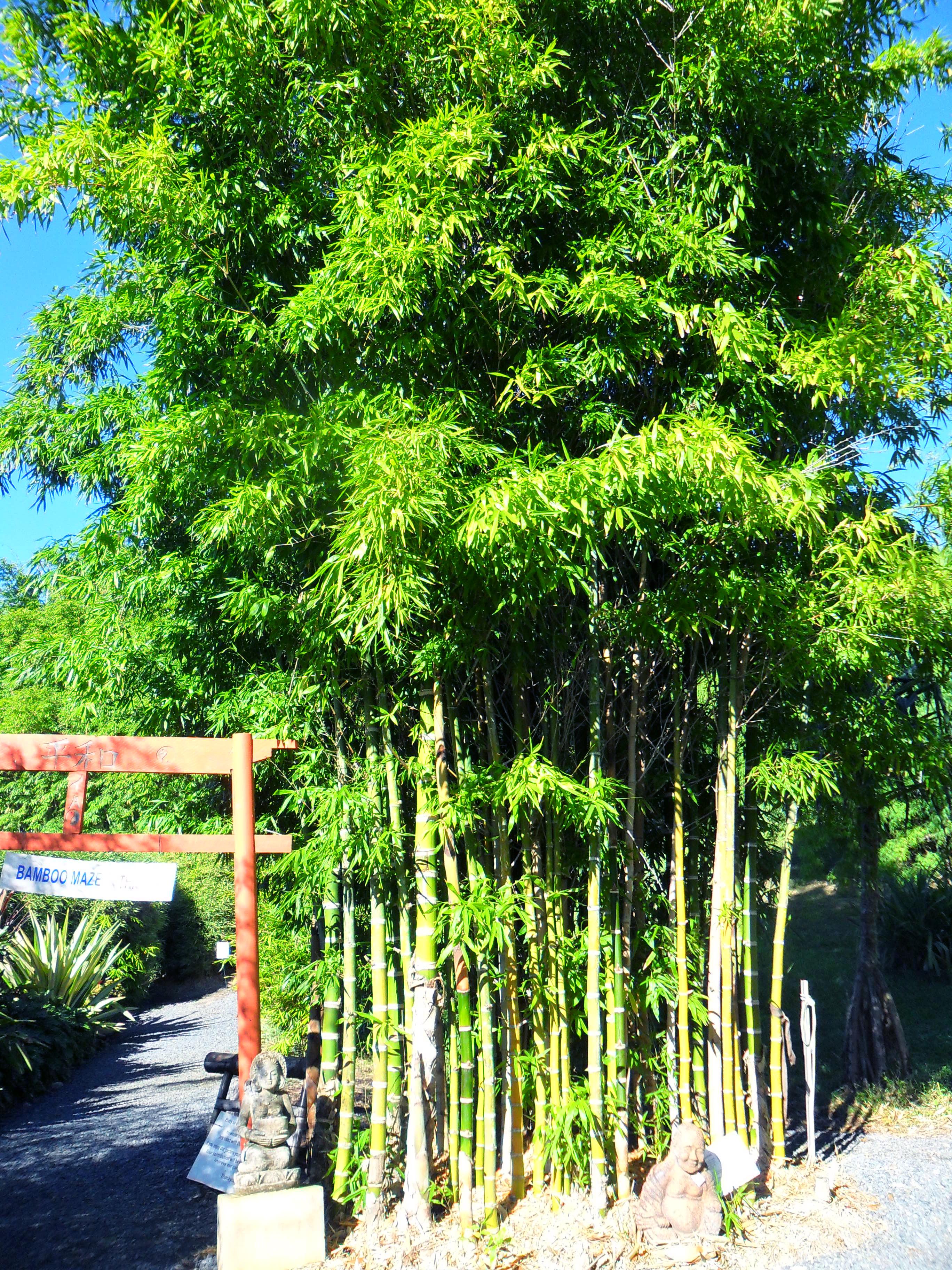 Guadua Angustifolia Bamboo