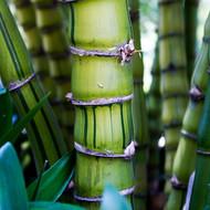 Giant Buddhas Belly Striata Bamboo