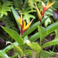 Heliconiaflower2.jpg