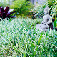 Dwarf Whitestripe Bamboo Ground Cover