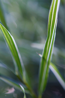 Malay Dwarf Variegated Bamboo