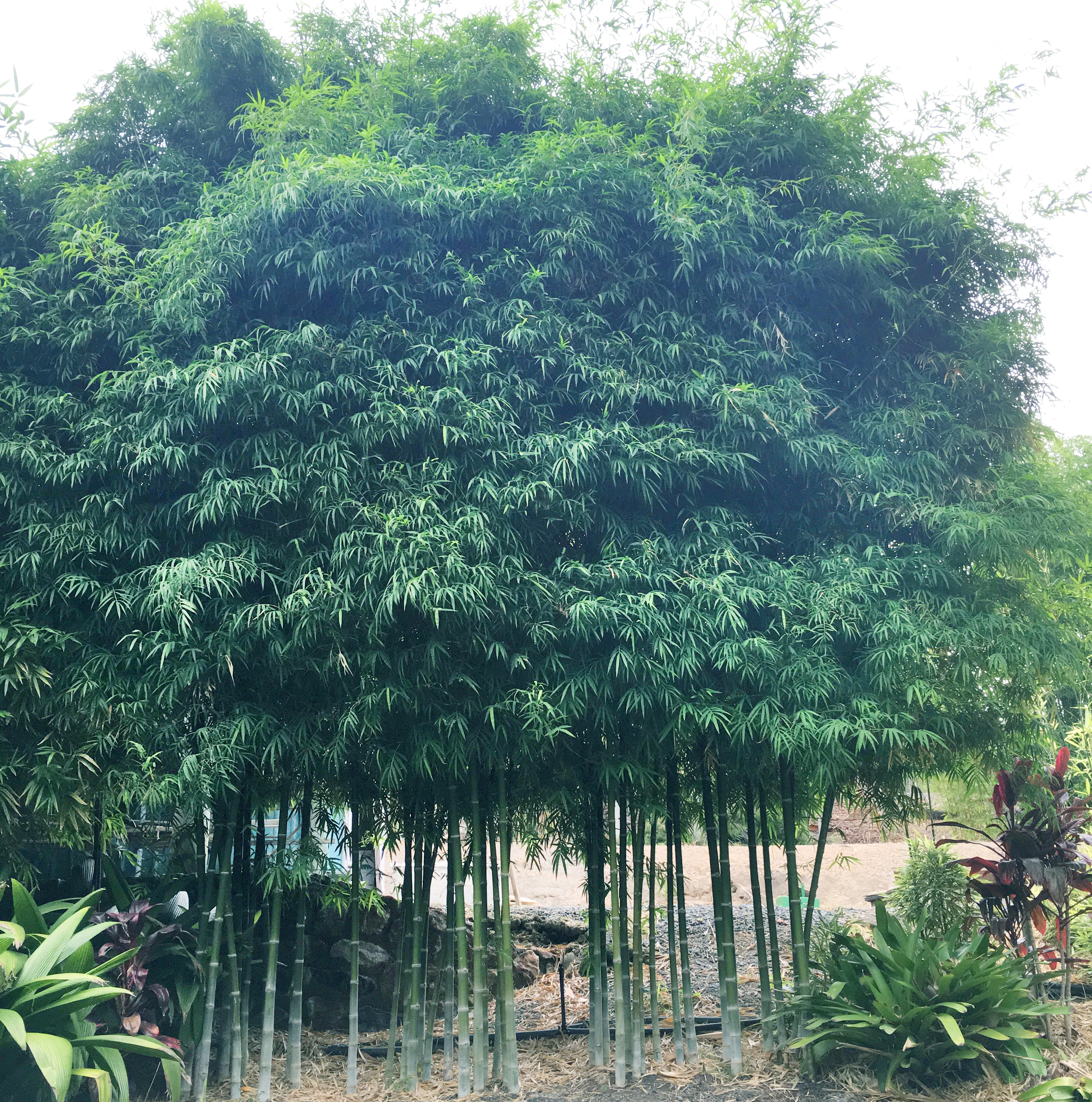 Nana Decorus Bamboo