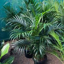 cascade-palm-1.jpg