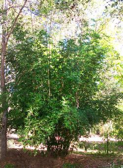 Boniopsis Bamboo