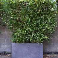 Malay Dwarf Variegated Bamboo