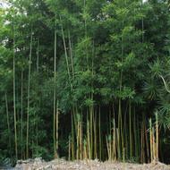 Temple Bamboo