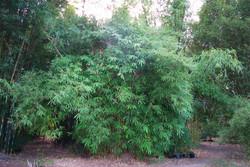 Malay Dwarf Green Bamboo