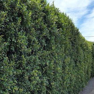 Lillypilly Hedge.jpg