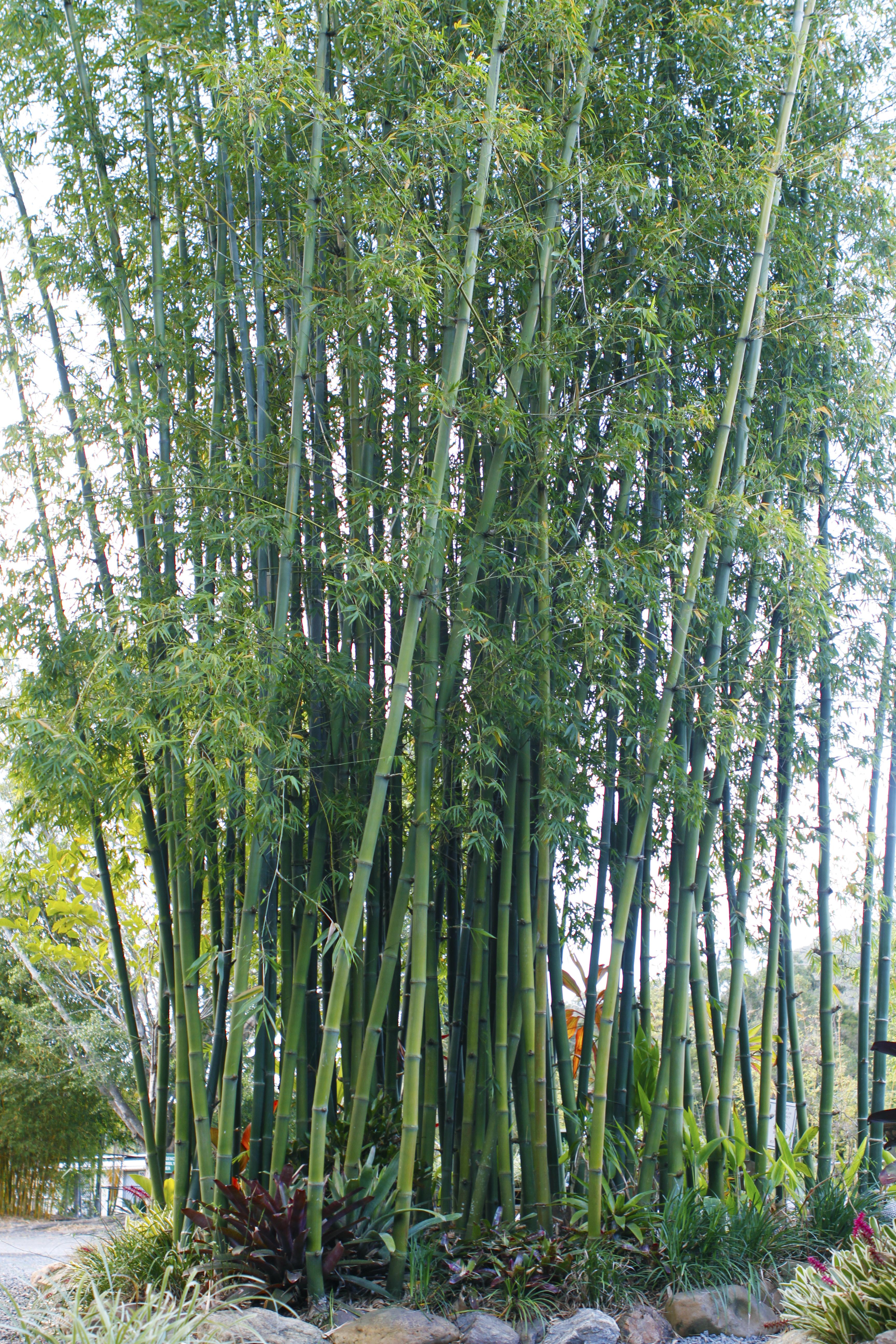 Lignania Bamboo