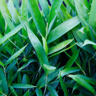 Dwarf Green Bamboo Ground Cover