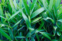 Dwarf Green Ground Cover Bamboo