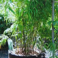 Khasia Bamboo