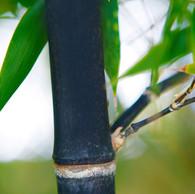 Nigra Black Bamboo