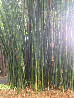 Giant Goldstripe Bamboo