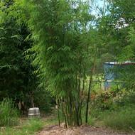 New Guinea Green