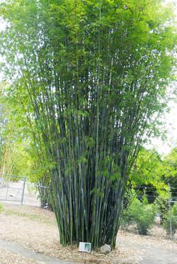Barbelletta Bamboo