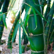 Giant Buddha Belly Bamboo