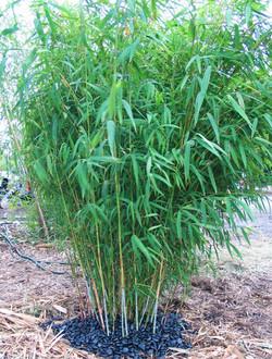 Nepalese Blue Bamboo