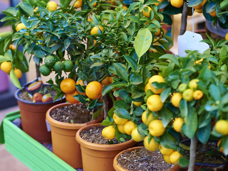 Fruit Plants for Containers