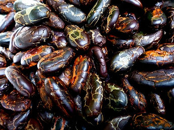 Fresh organic cacao beans from Costa Rica
