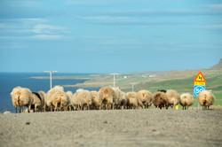 Sheep_025