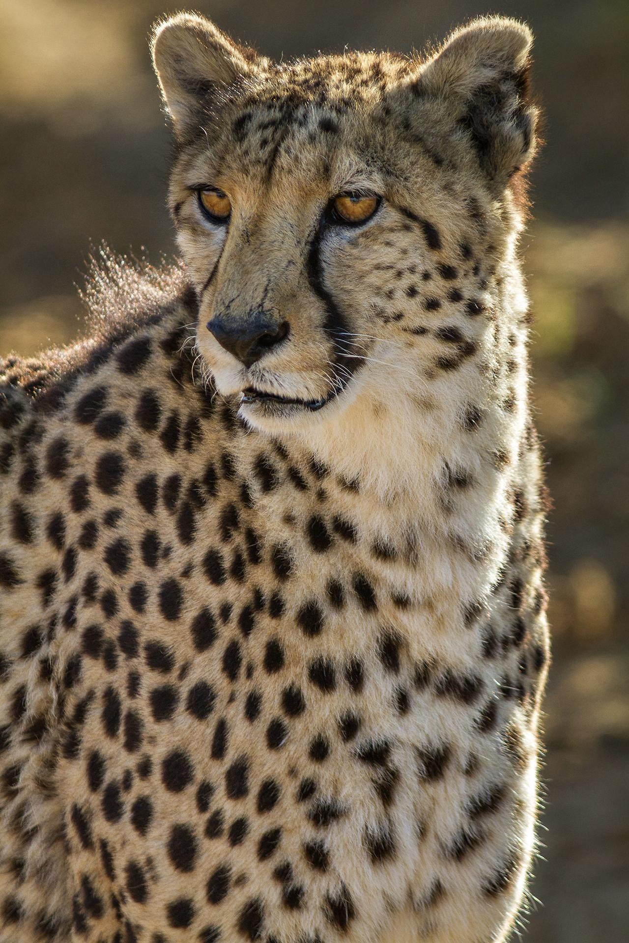Guépard, Cheetah - Acinonyx jubatus