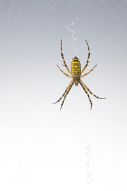 Arachna_037