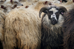 Sheep_001
