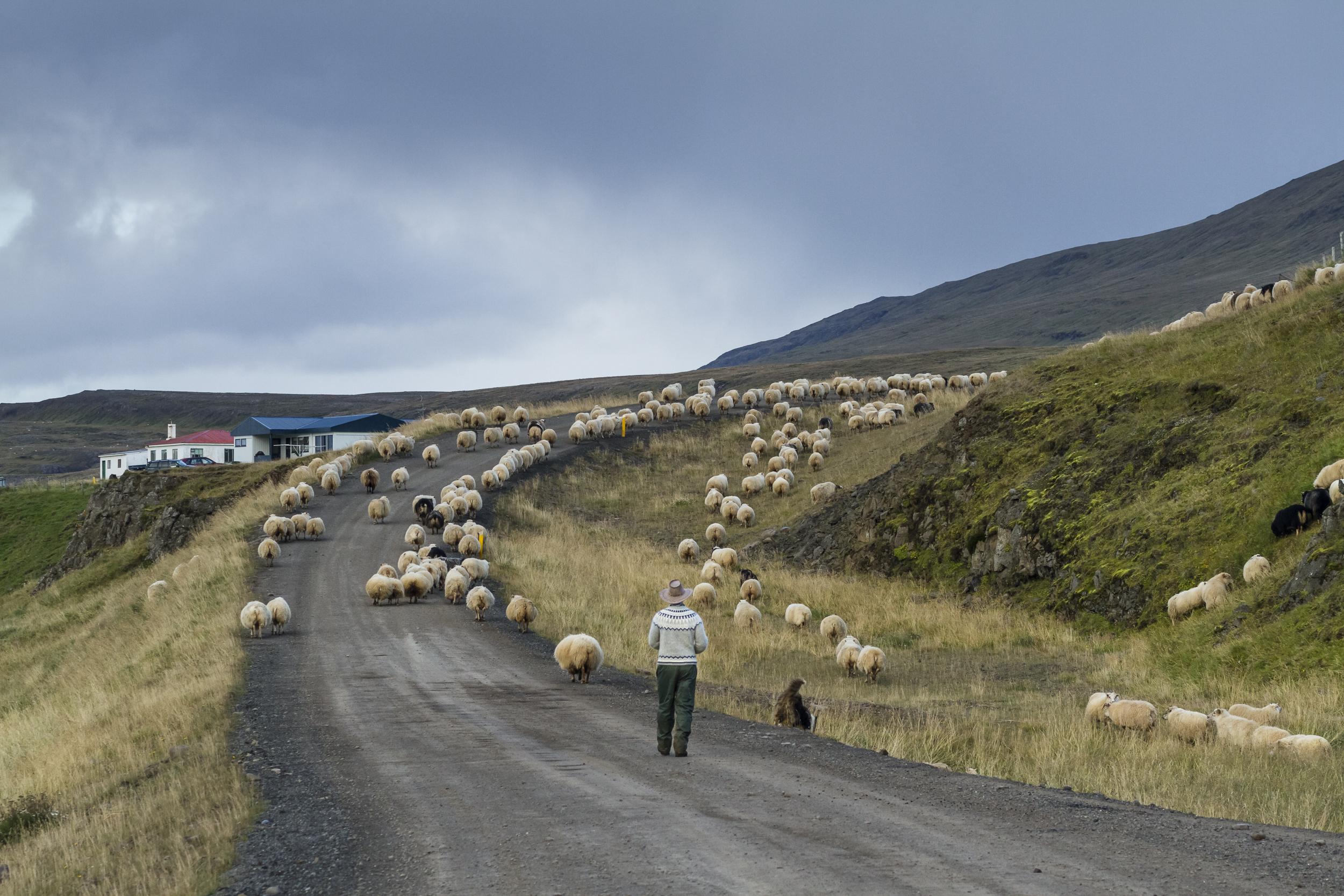 Sheep_002