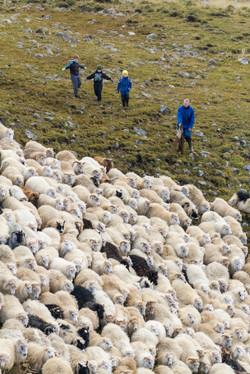 Sheep_003