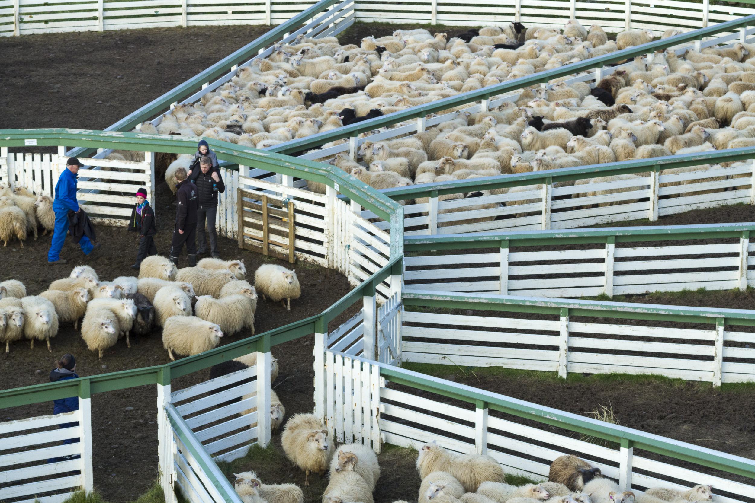 Sheep_019