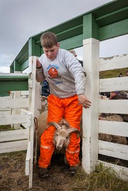 Sheep_012