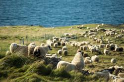 Sheep_024