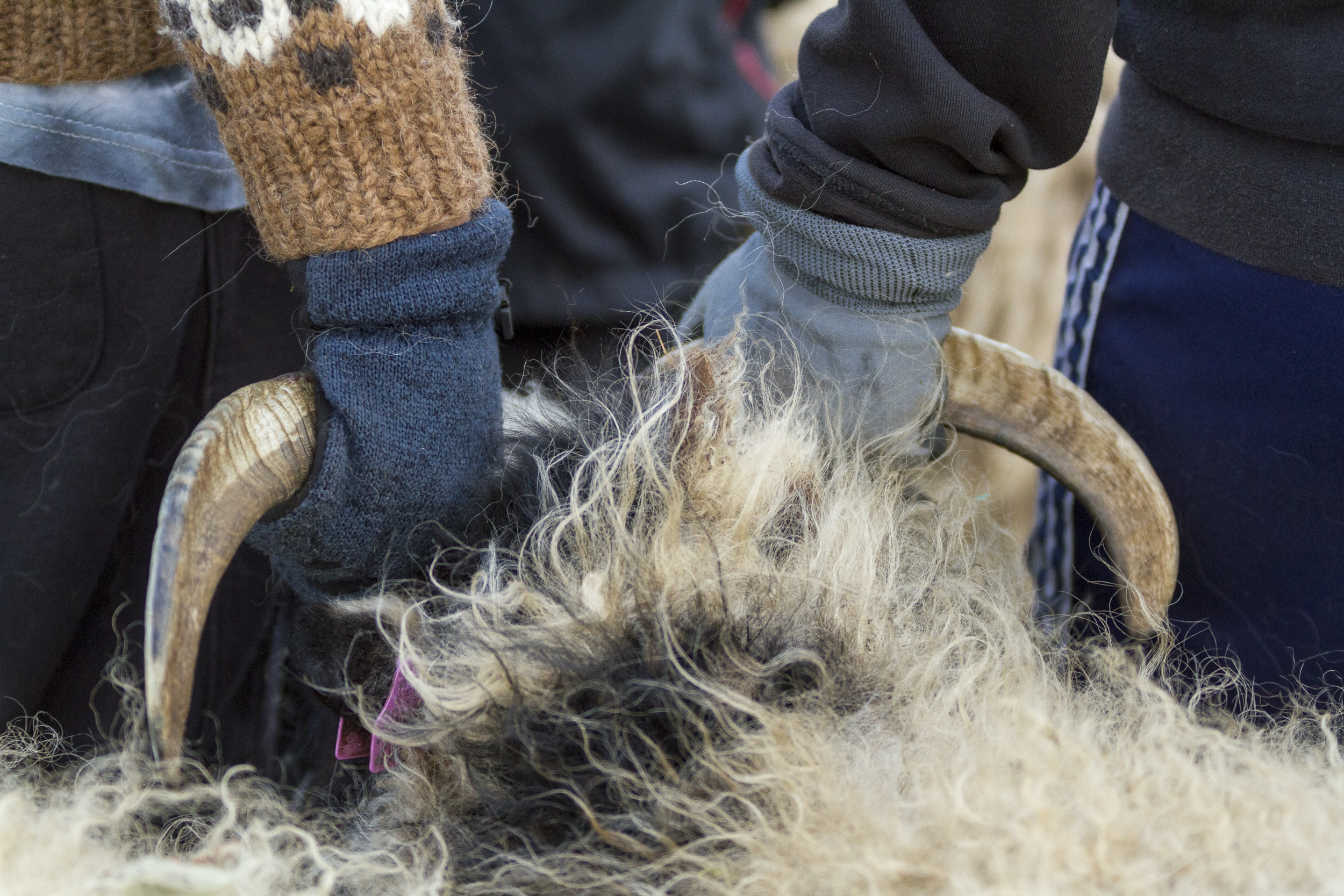Sheep_018