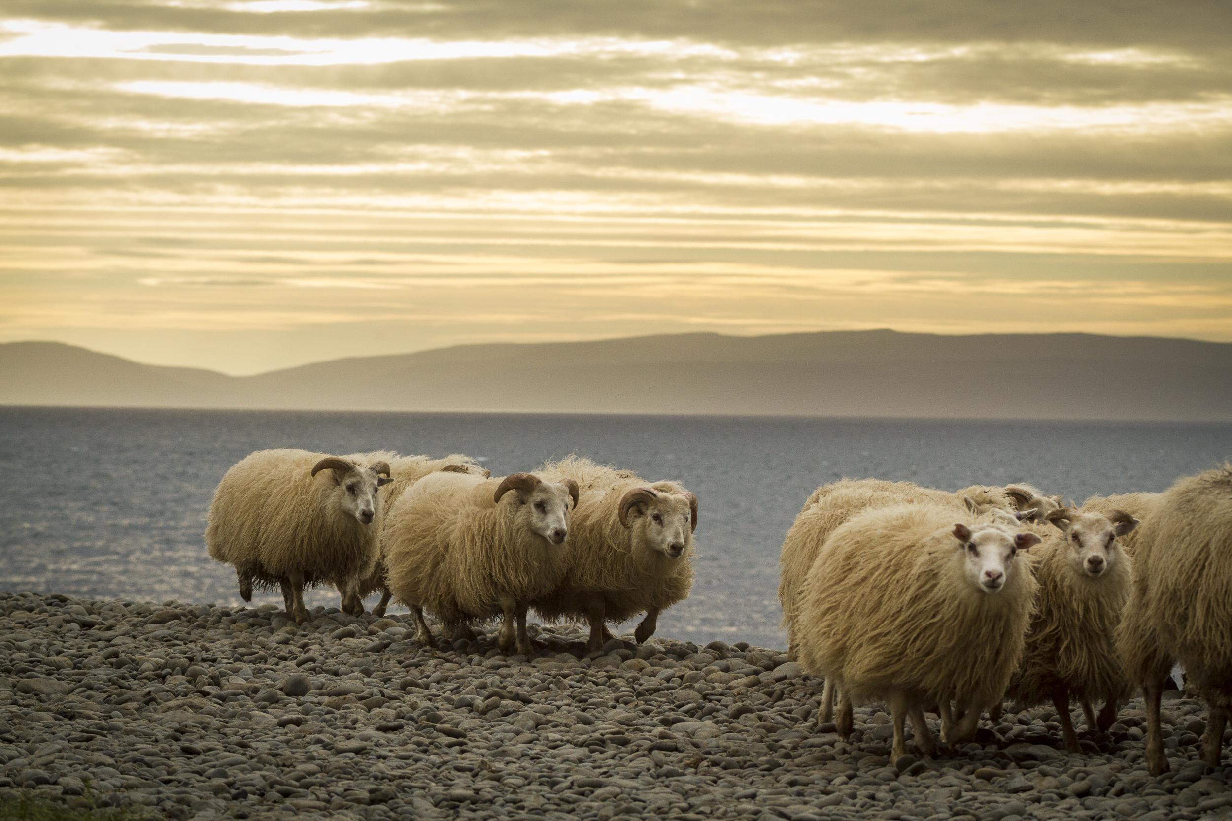 Sheep_014