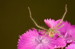 Arachna_030