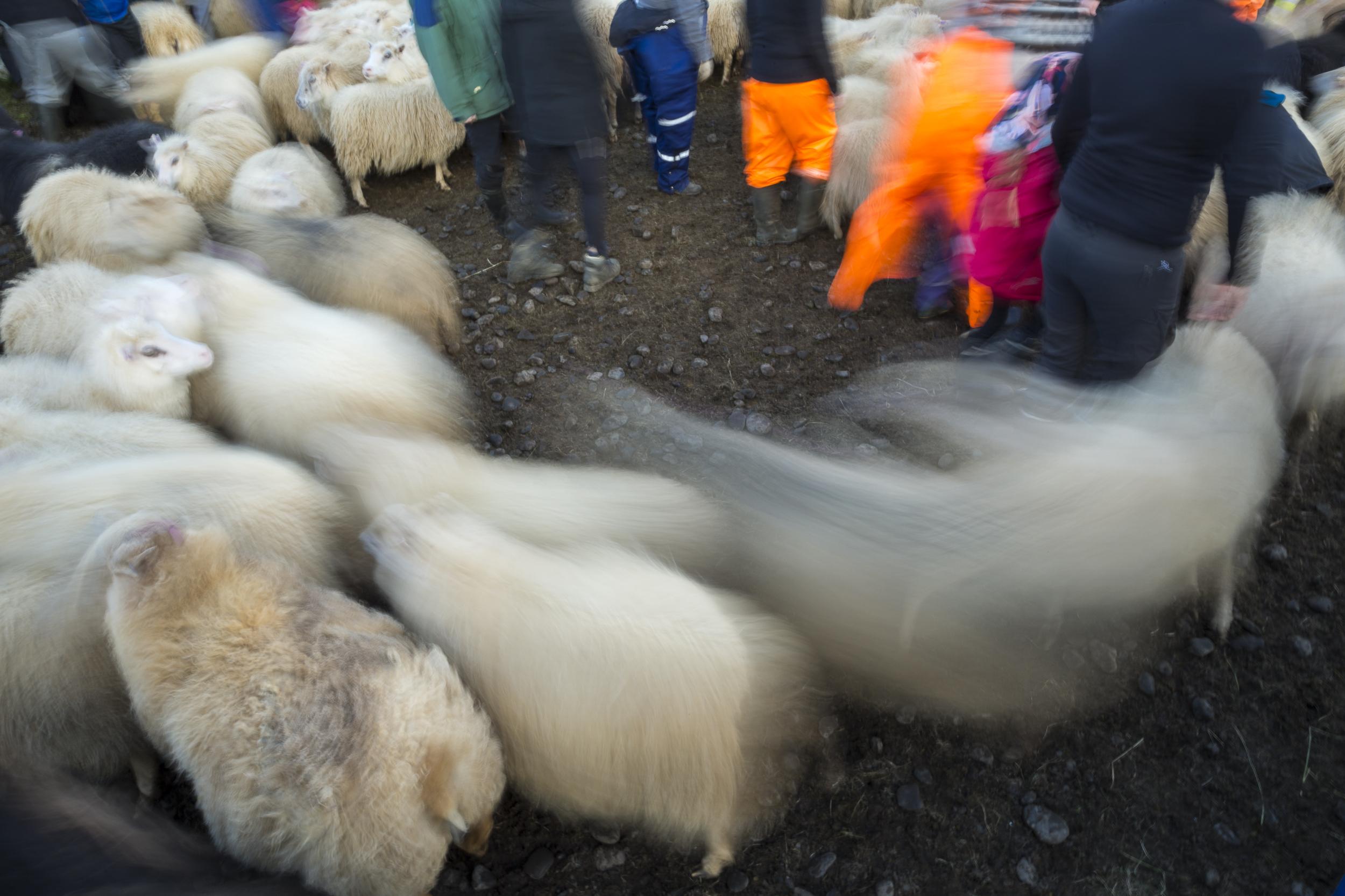 Sheep_022