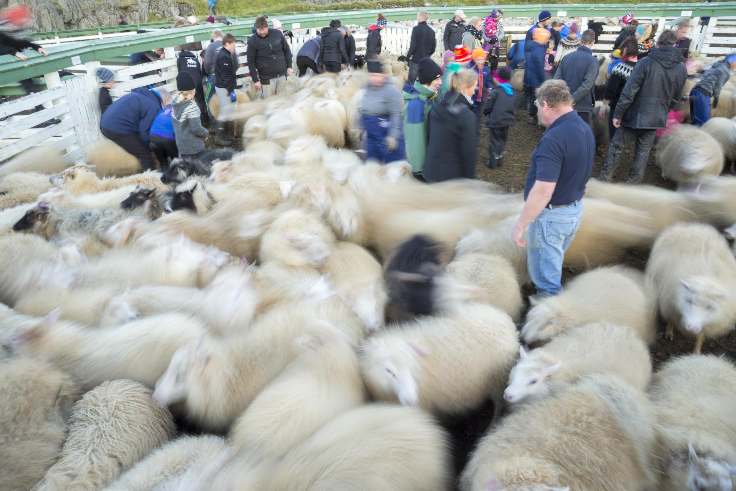Sheep_021