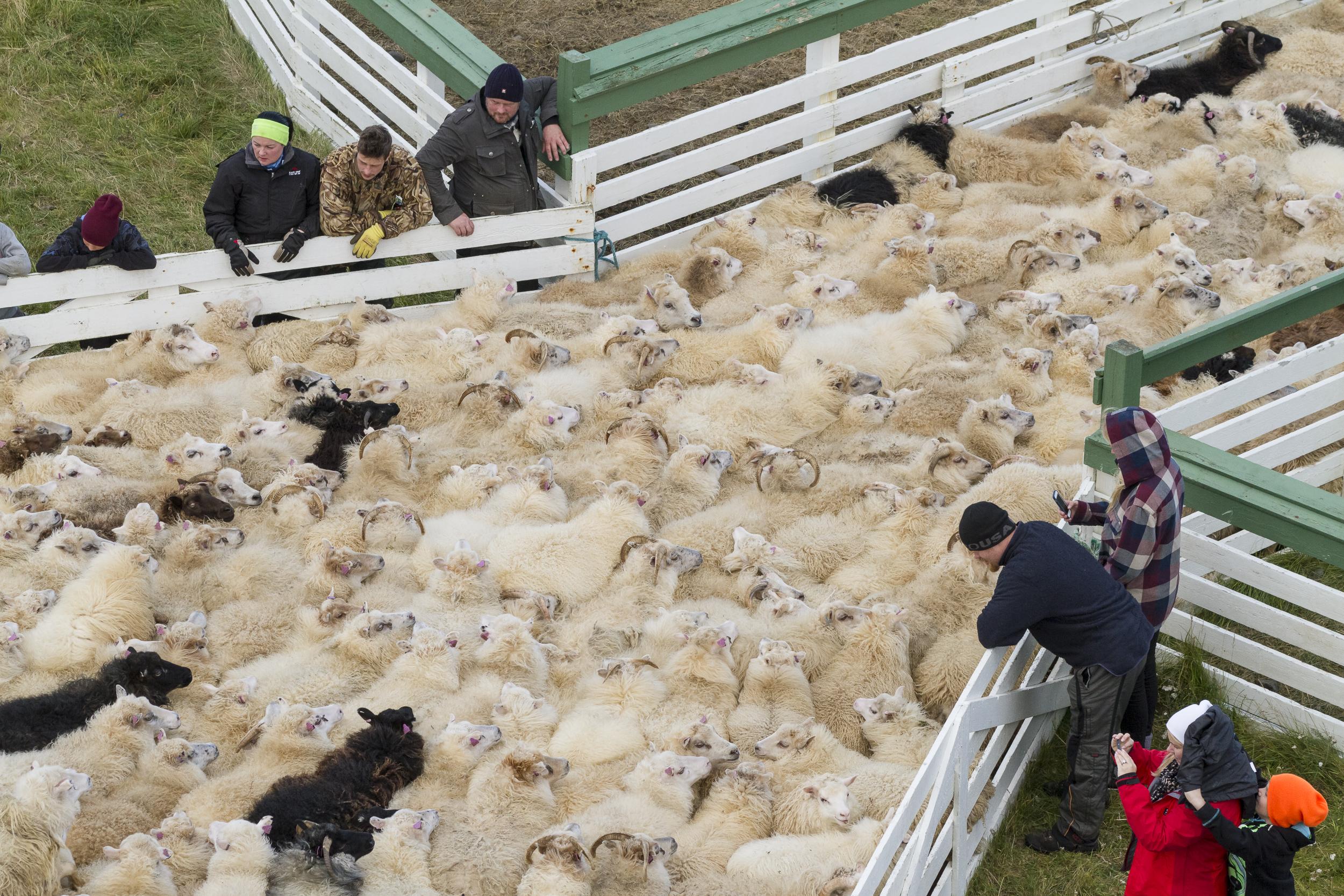 Sheep_005