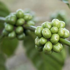 Semente de Café Verde vira diferencial em linha de Cosméticos Masculino