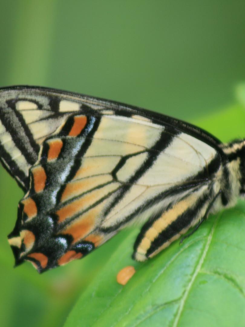 Papillon - Havre Familial
